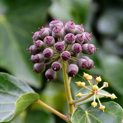beautiful fruits of Common Ivy Hedera Helix Linne