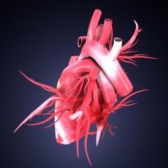 3d illustration of human heart anatomy