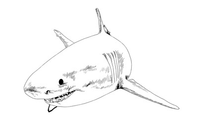 a great white shark drawn in ink on a white background with jaws attacking