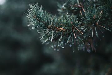Water drop is shining on a fir needles