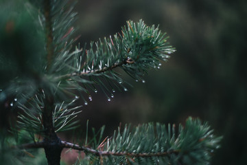 Water drop is shining on a fir needles