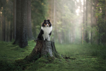 Sheltie dog in the nature