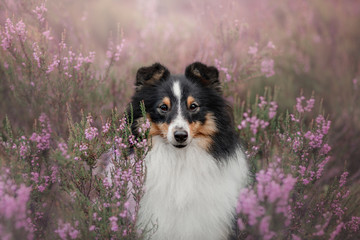 Sheltie dog sitting in the Heather