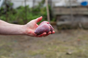 the hand holds a real bloody heart. broken love