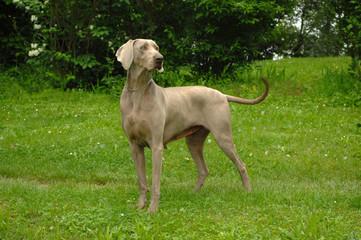 Portrait of Weimaraner dog