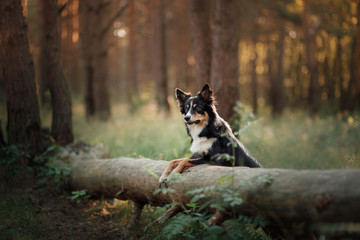 Dog border collie in the woods