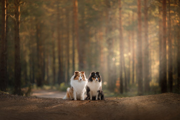 Two dogs sheltie in the woods on the path