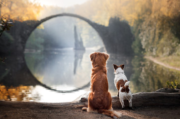 Dog Nova Scotia duck tolling Retriever and Jack Russell Terrier looking at the bridge