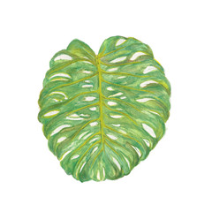 Monstera leaf tropical greenery