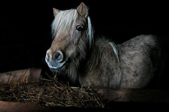 mini horse on a black background