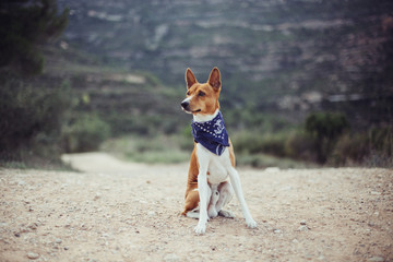 Cute and adorable basenji breed dog sniffs air while outside on expedition or hiking trip. sits on trail in forest, wears blue bandana leash or collar, looks to side for owner
