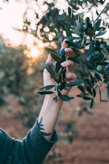 Female arm and hand with hipster artisan tattoos holds tenderly branch of olive tree, concept farm life in french rustic style, natural beauty and harmony