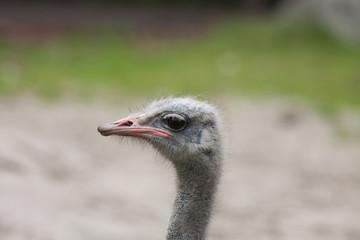 ostrich (Struthio camelus) close-up portrait