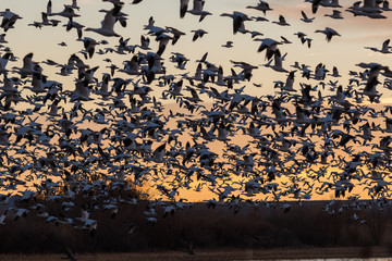 Snow Geese Silhouetted at Sunrise