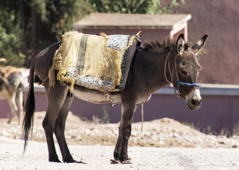 Donkey waiting patiently in the sun at the weekly berber open market a short way from Essaouria in Morocco