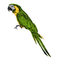 parrot sketch vector graphics color picture