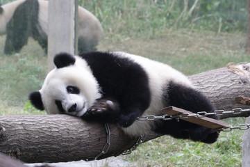 Cute Giant Panda Cub, Chongqing, China