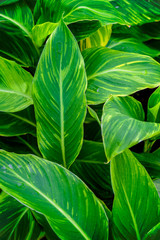Green and wet leaves in close-up as an abstract background.