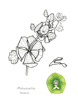 Bells of Ireland. Garden plant. Scientific name: Moluccella laevic. Hand drawn botanical sketch isolated on white background. Watercolor and ink.