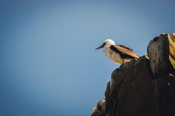 Peruvian booby in the Islas Ballestas, Paracas Peninsula, Peru