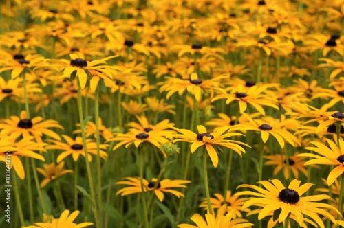 d93a7b46aa25a Gelber Sonnenhut Staude Rudbeckia fulgida var. sullivantii Goldsturm Pflanze
