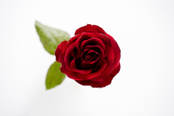 Red Roses isolated on white background.