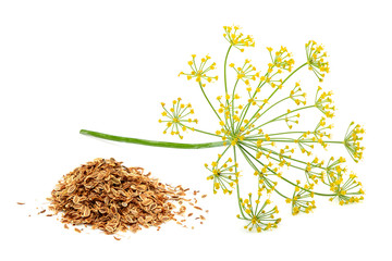 Green wild fennel flowers with dry seeds isolated
