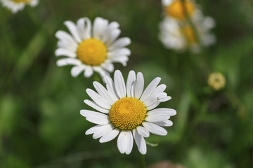 White daisies on a meadow close-up. Flowers