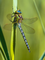 Resting Male hairy dragonfly