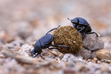 hard working dung beetles facing problems