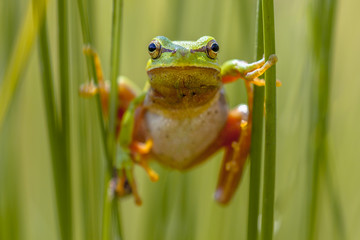 Tree frog frontal view