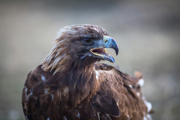 Young Golden eagle closeup. Mongolia.