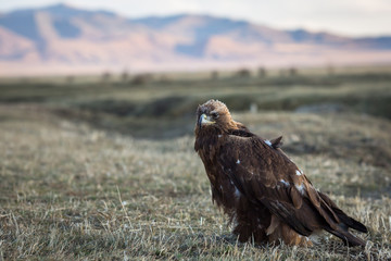 Young Golden eagle. Mongolia.