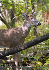Wild young male deer in park in autumn