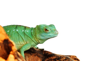 Green agama lizard