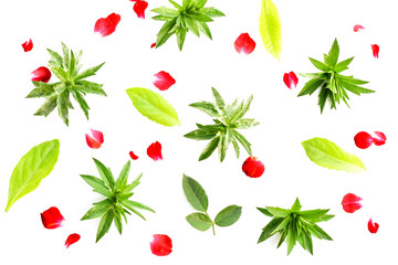 fresh green grass leaves and red rose on white background