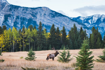 Wild elk in the Canadian Rockies, Banff National Park