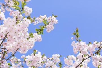 満開の桜 八重桜