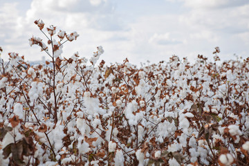 white Cotton field Harvesting under blue clowdy sky