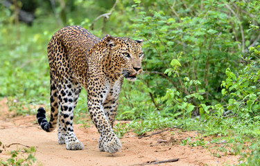 In de dag Luipaard Leopard walking on a sand road. The Sri Lankan leopard