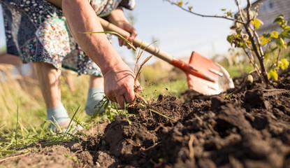 a woman digs a garden with a shovel
