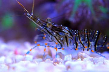 Cristal Shrimp - Palaemon Elegans