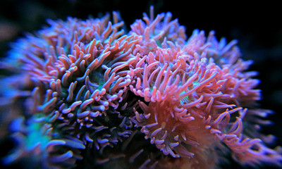 Duncal lps coral in reef tank