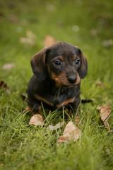 Daschund puppie in grass