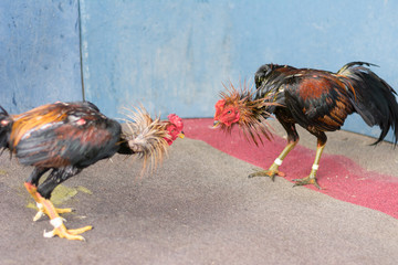 Gamecocks are fighting in game at countryside , Thailand