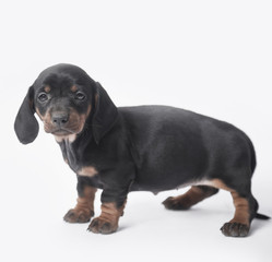 Studio shot of dachshund puppy