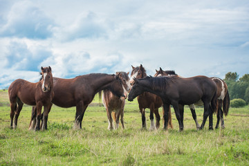 Herd of horses in summer