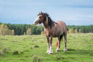 Beautiful gypsy horse standing on the field in summer