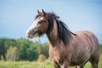 Portrait of beautiful gypsy horse