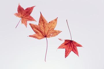 紅葉 枯れ葉 楓